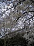 西陣 桜 (Small).JPG