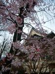 待乳山桜 (Small).JPG